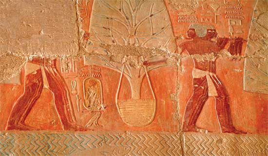 Living myrrh trees from the land of Punt